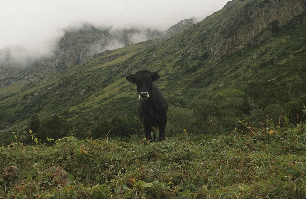Krowa Tienszan