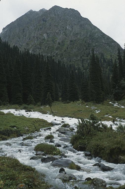 Tien-szan porastają wyjątkowo strzeliste świerki Schrenka (Picea schrenkiana)