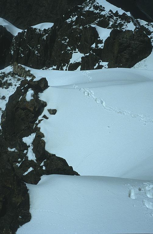 Ślady śnieżnej pantery