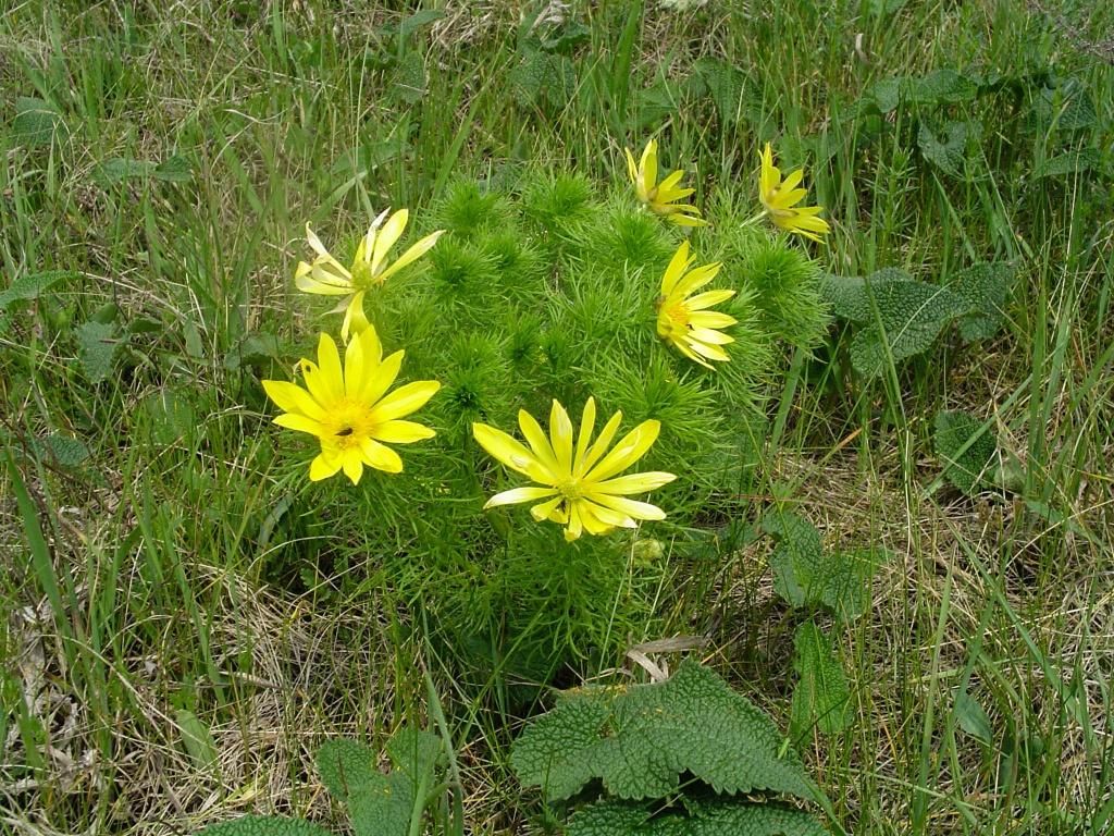 Miłek wiosenny(Adonis vernalis).