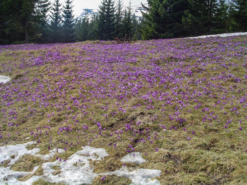 Okolica zasłana jest kobiercami krokusów wiosennych (Crocus vernus).