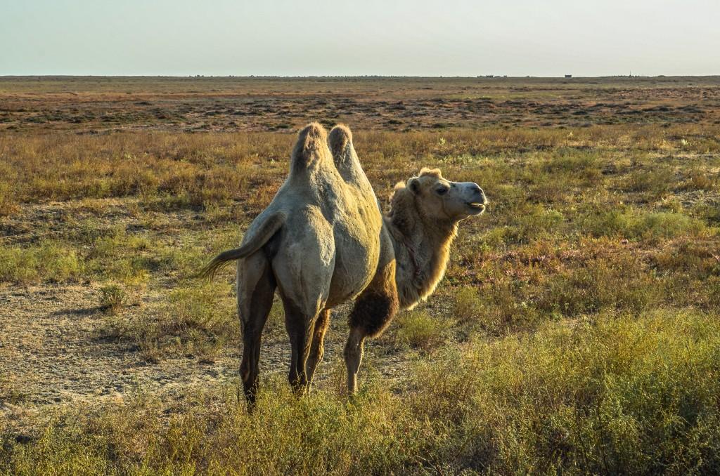 Przy drodze Wielblad dwugarbny