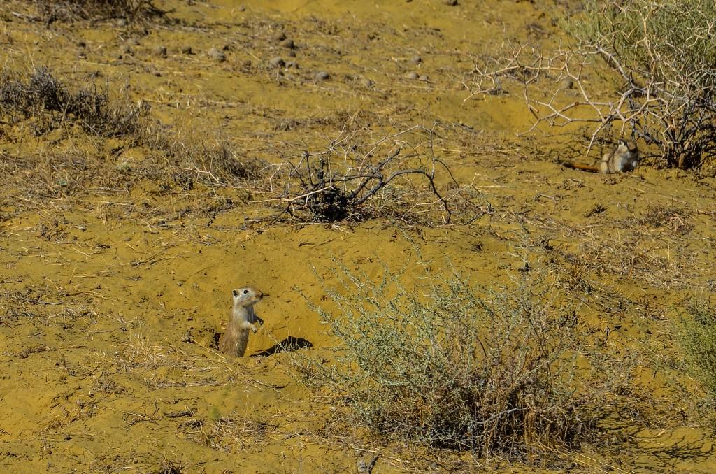 pieszczanki wielkie (Rhombomys opimus