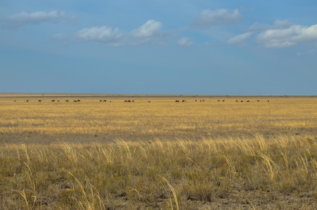 konie pasace sie w sepie Kazachstan
