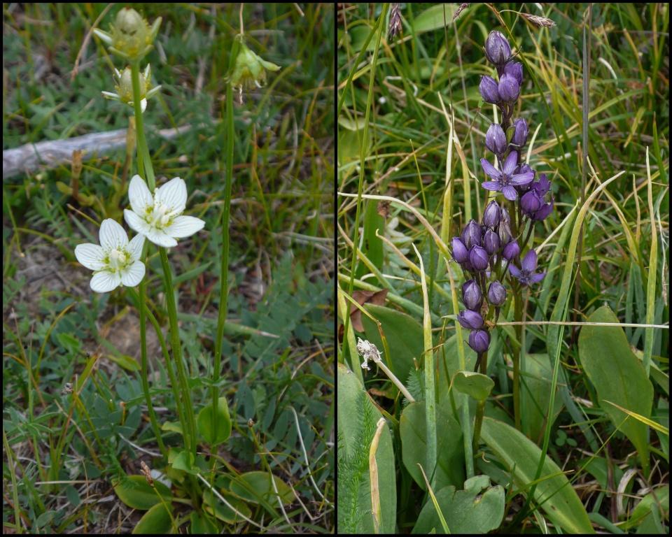 Dziewięciornik błotny (Parnassia palustris) i niebielistka trwała (Swertia perennis)