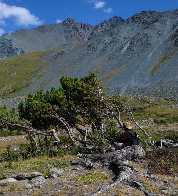 wiciokrzewu sinego (Lonicera caerulea)