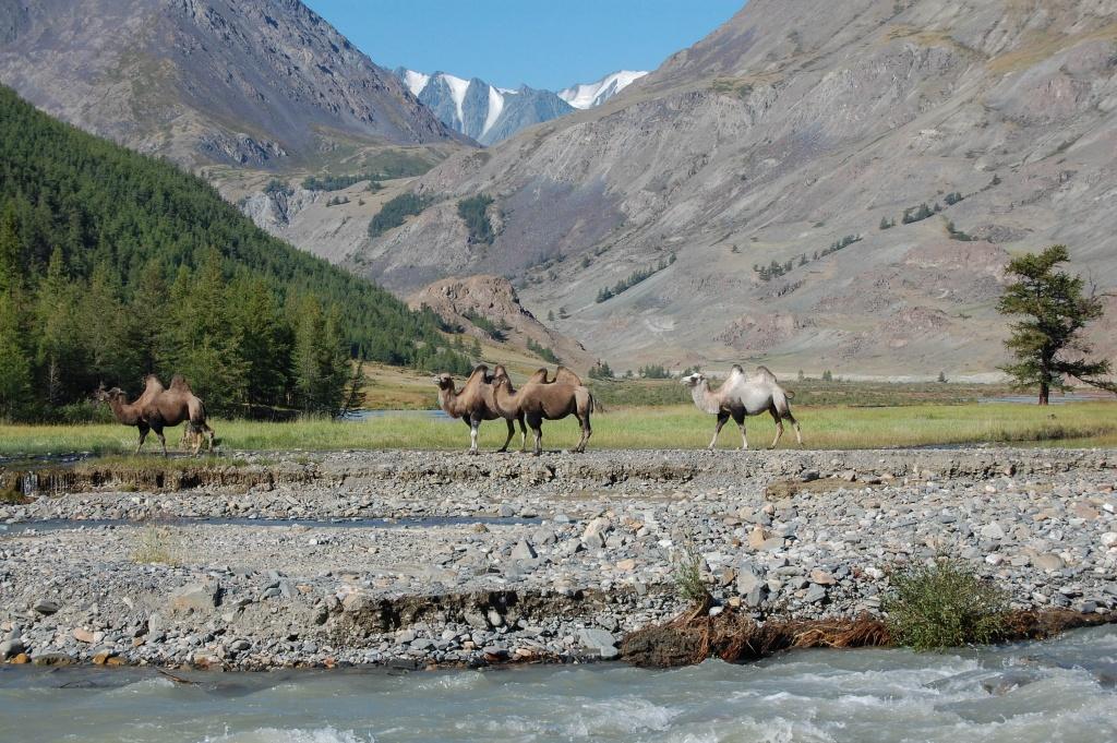 Przy brodzie na potoku Dżelo spotykamy wielbłądy dwugarbne (baktriany) hodowane na Czujskim Stepie.