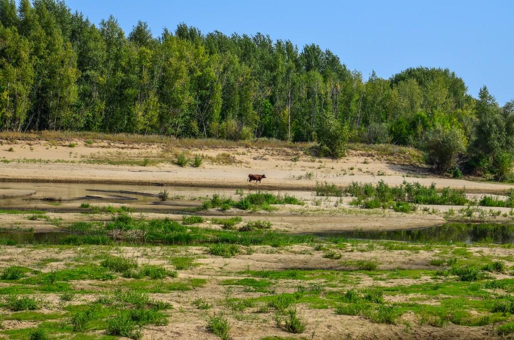 Krowa nad Wolga