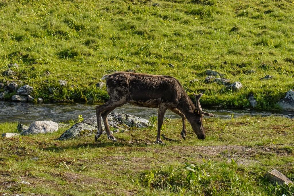 renifer w górach Ural