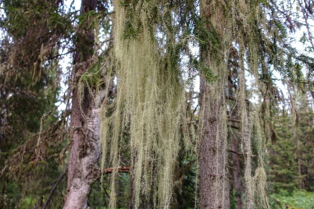 Porosty na drzewie w tajdze